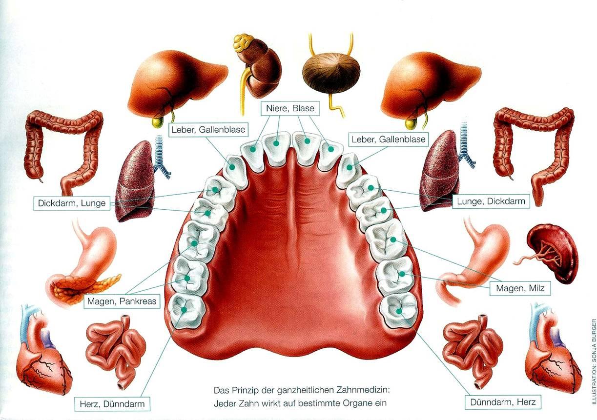 Zähne Organe